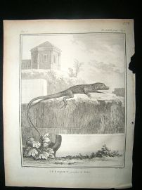 Buffon: C1770 Roquet Lizard, Antique Print